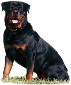 Rottweiler wiki 153 the dog wallpaper best the dog wallpaper