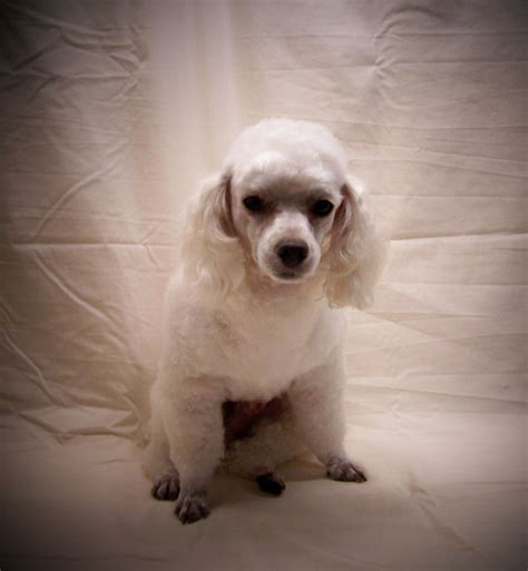 pats precious puppies puppies for sale shih poo shih poos f category in plainfield illinois