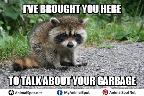 Excellent Raccoon Meme - raccoon meme images reverse search