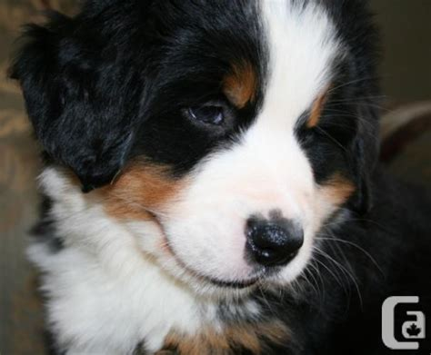 ckc puppies purebred ckc registered bernese mountain puppies halifax for sale in halifax