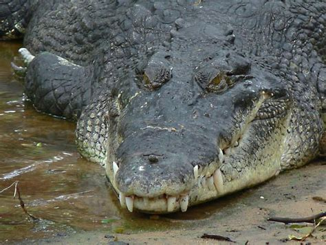 the difference between alligators and crocodiles pin by katherine coolen on gators crocs and gharials oh my pin