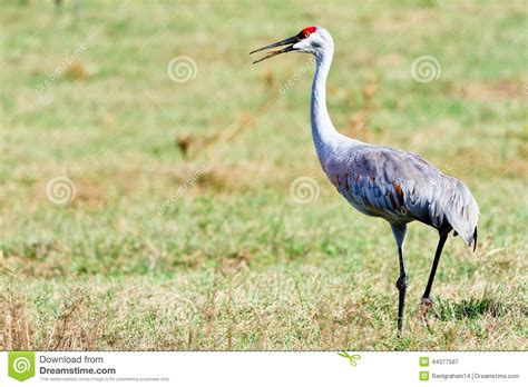 sandhill crane stock photo image 44377567