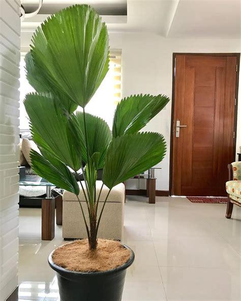 licuala grandis ruffled fan palm plants plant decor