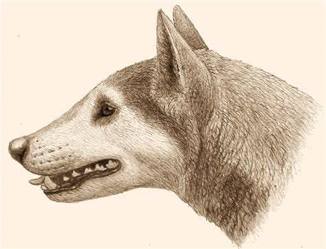 ancient dogs cynarctus wangi new species of ancient found in maryland paleontology sci