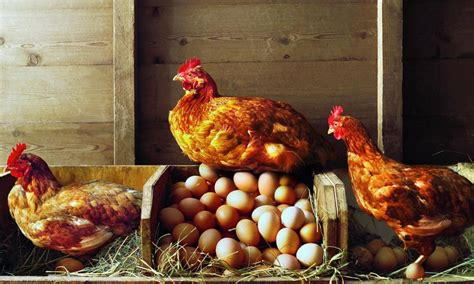 Chicken Lit No Really by Top 10 Tips For Building A Chicken Coop