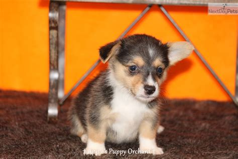 corgi puppies dallas corgi puppy for sale near dallas fort worth 5568bc7c e1d1