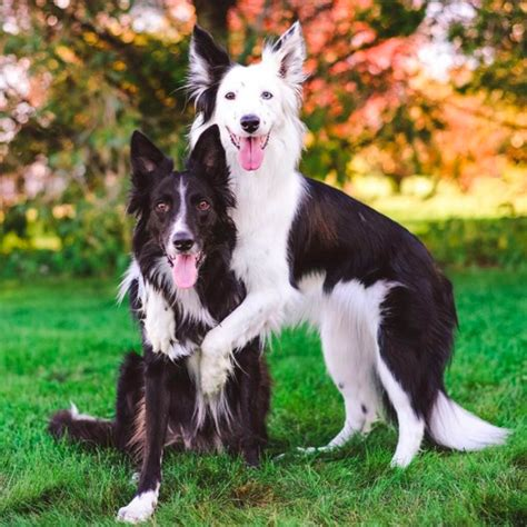 hugging dogs hugging dogs get new border collie puppy