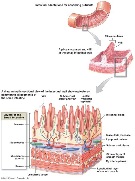 What Are The Four Sections Of The Large Intestine by Digestive System