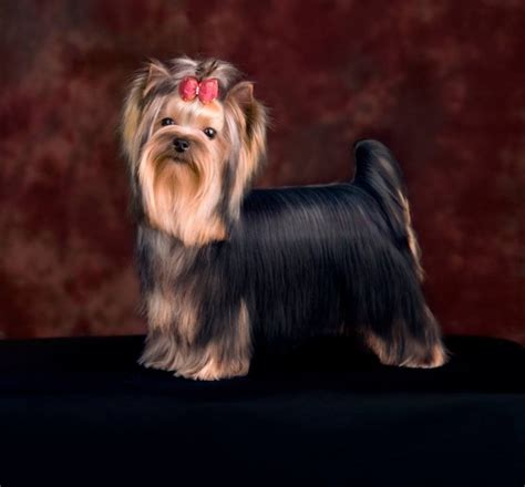 yorkie curly hair does terriers curly hair hairstylegalleries