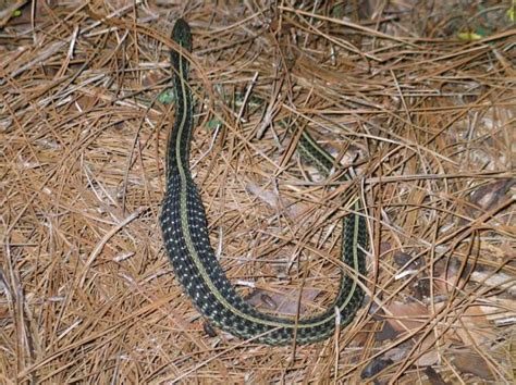 Garden Snake Florida by Garden Help Most Snakes Are Not Your Enemy Jacksonville