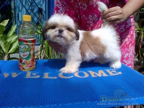 Mini 2 Turun dunia anjing jual anjing shih tzu puppys mini shihtzu