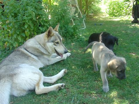 wolf mix labrador retriever wolfdogs history