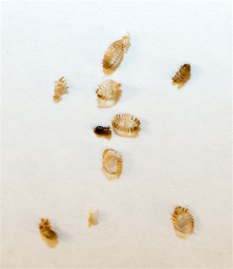 bed bug exoskeleton bedbug molts are these from bed bugs jennifer little