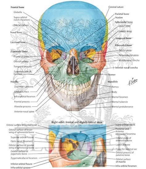 Atlas Of Human Anatomy Frank H Netter 6th Edition anterior aspect of skull