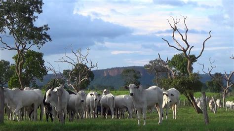 Free Extensive Search Pastoral Landscape Beef Cattle Extensive Grazing System Country Brazil