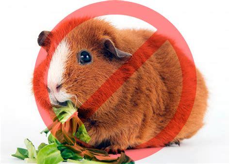 Чем кормить морских свинок таблица