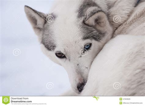 husky with different colored husky with different colored stock photo image