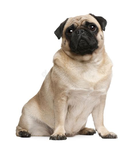 pug sitting pug 2 years sitting royalty free stock photos image 16713878