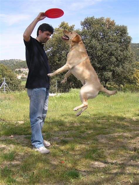 how to a to stop jumping on how to teach your lab to stop jumping on iheartdogs