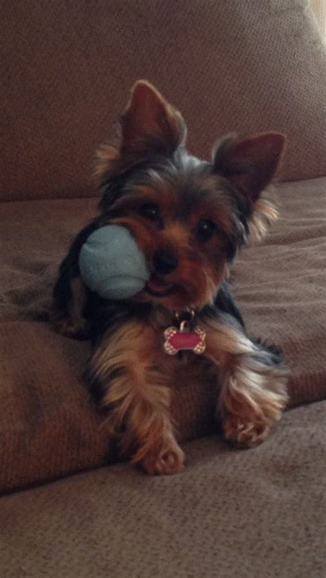 tiny yorkie haircuts 512 best yorkie images on pinterest yorkies yorkie