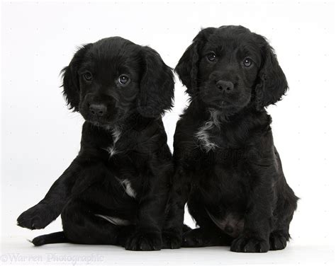 black and white cocker spaniel puppies 50 beautiful black cocker spaniel pictures and images