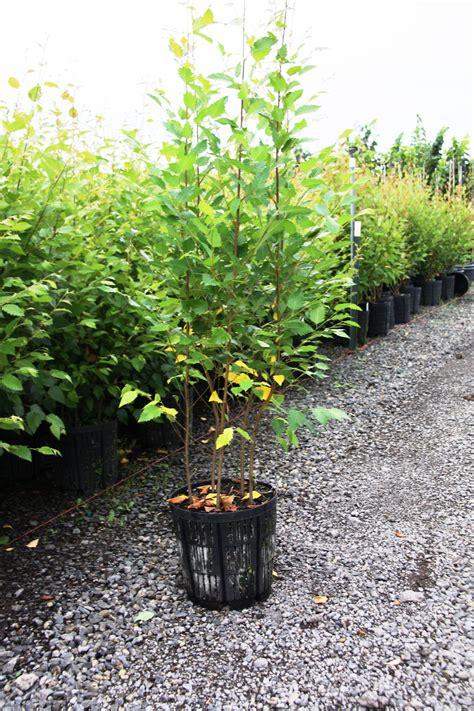 betula nigra dura heat robinson nursery