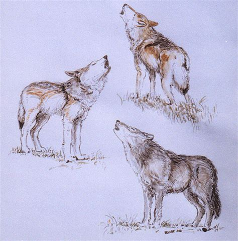 wolves drawings 21 wolf drawings pencil drawings sketches freecreatives