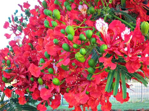 poinsiana tree decorations tuesday in townsville poinciana flowers and a happy new year budget travel talk