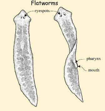 flatworm diagram flatworm diagram 28 images worms mollusks
