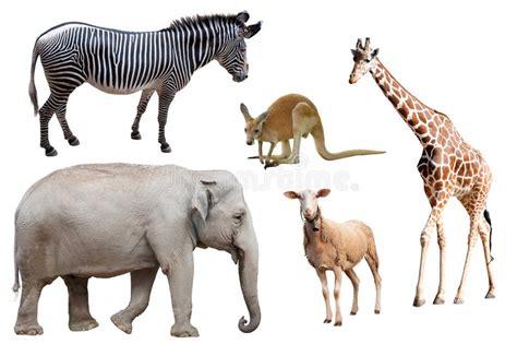 imagenes de jirafas y elefantes una cebra un elefante ovejas un canguro y una jirafa