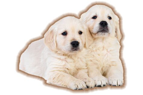 golden retriever breeders in nh golden retriever puppy breeders nh dogs in our photo
