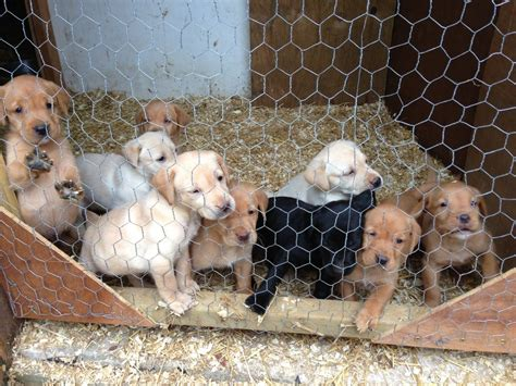 labrador puppies for sale ga golden lab puppies for sale driverlayer search engine