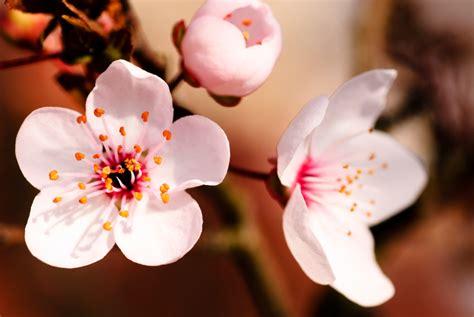 fiore ciliegio die bl 252 te der pflaume 187 merkmale interessante fakten