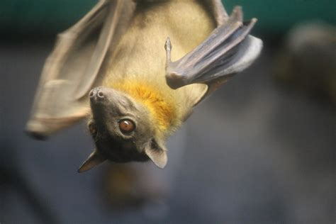 straw colored straw colored fruit bat 2 diana ranslam flickr