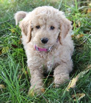 chocolate doodle indiana 25 best ideas about labradoodle breeders on