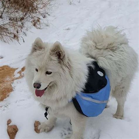 samoyed puppies for sale in nc 25 best ideas about samoyed puppies for sale on miniature husky for sale