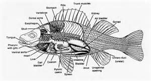 Part Of A Perch Fish Diagram moreover Fish Heart Diagram Labeled