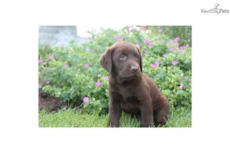 ofa dogs meet boy1 a labrador retriever puppy for sale for 350 choc labs ofa ch