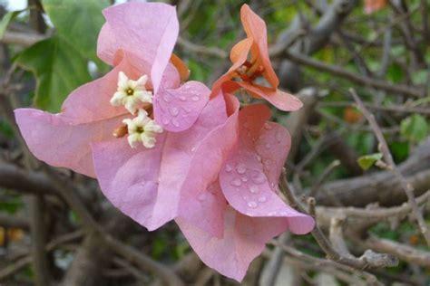 bougainvillea schneiden bougainvillea schneiden im herbst vor dem 220 berwintern