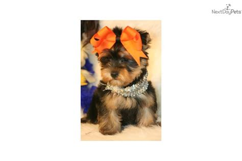 yorkies for sale in ri terrier yorkie for sale for 1 250 near rhode island 8abbbed9 0921
