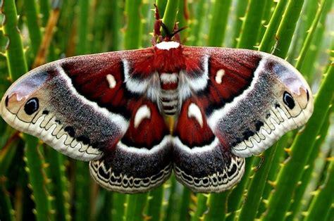 silkworm tattoo colombia silk moth moth moth silk