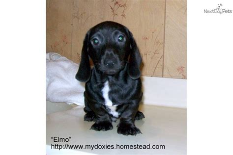 white dachshund puppies meet elmo a dachshund mini puppy for sale for 295 elmo purebred black white