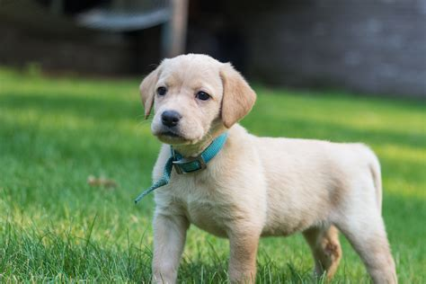 puppies for redfox yellow lab puppies rehberger s bird dogs