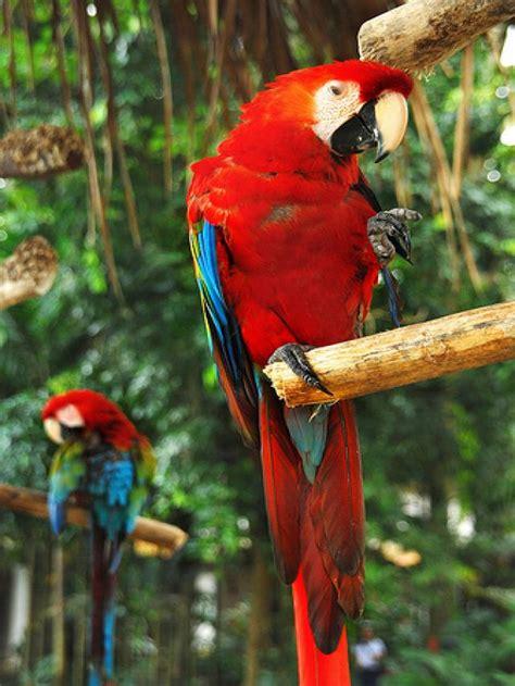 imagenes guacamayas rojas ranking de la guacamaya roja listas en 20minutos es