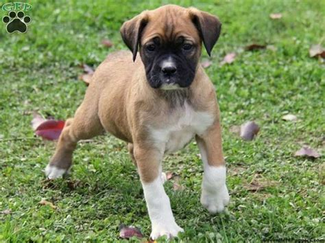 pug pitbull mix puppies the world s catalog of ideas