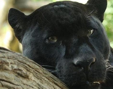 panther panthera pardus panthera onca animals