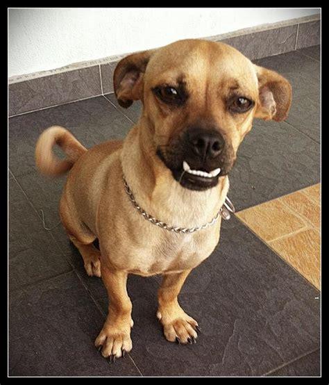 pug x mini pinscher pug miniature pinscher adopted 7 years 4 months lucas from petaling jaya