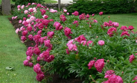 peony bedding our readers favorite gardening tips your easy garden