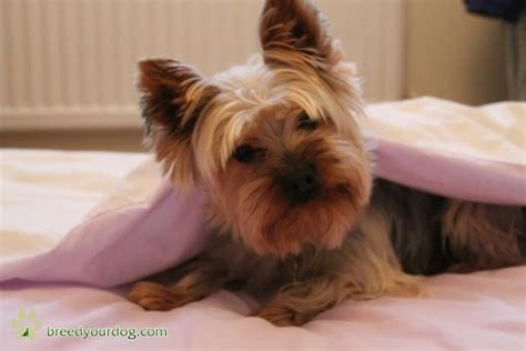 mating yorkies stud yorkie for breed your