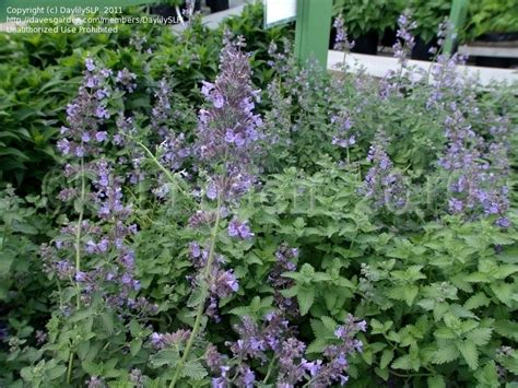 plantfiles pictures nepeta faasens catmint ornamental